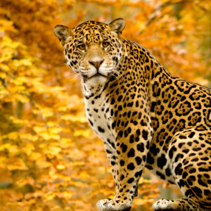 Jaguar sitting in leaves