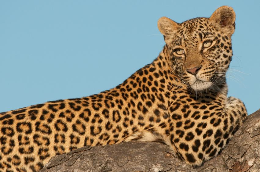http://bigcatallies.org/wp-content/uploads/2014/05/leopard.jpg