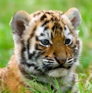 tiger cub close up education